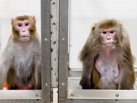Elon Musk implants a chip in a monkey so that it uses a video game with its mind