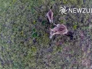Envoyer son drone pour filmer des kangourous peut sembler une bonne idée à condition de ne pas trop
