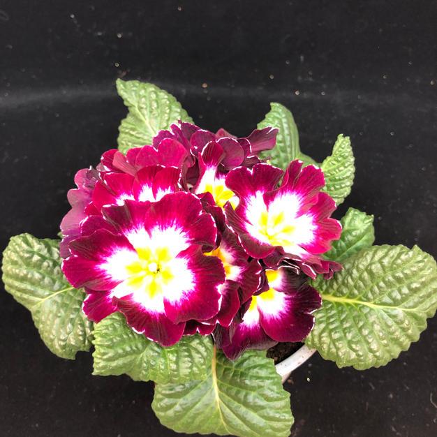 Primula-burguner kant rundt gulhvit kjerne