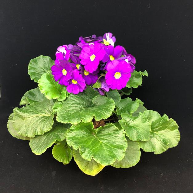 Primula lilla