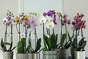 Phalaenopsis orkidé.jpg