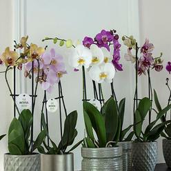 Orkideer i mange farger