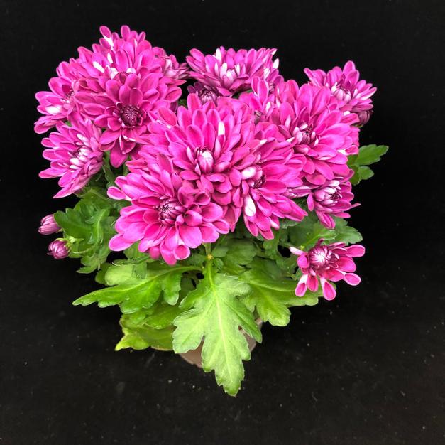 Kryssanthemum dyp lilla