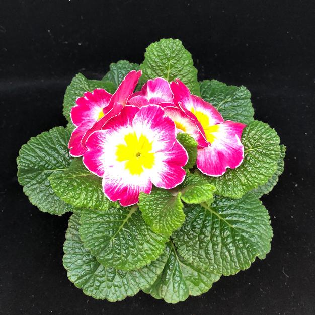 Primula rosa kanter