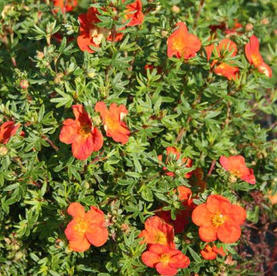 Potentilla_fruticosa_Red_Ace.jpg