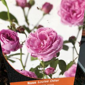 Historisk Louise Odier