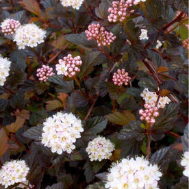 Spirea_physocarpus_opulifolius_Midnight.