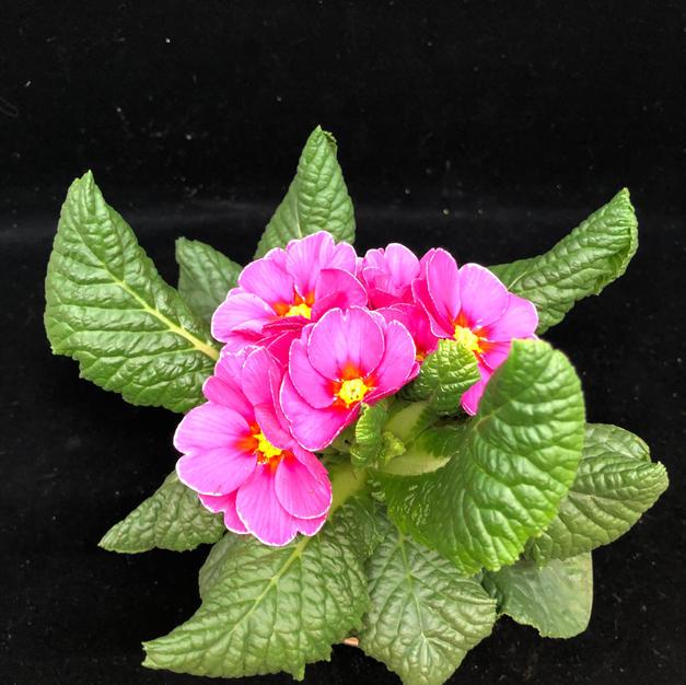 Primula rosa