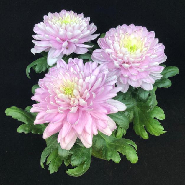 Kryssanthemum fyllt, rosa