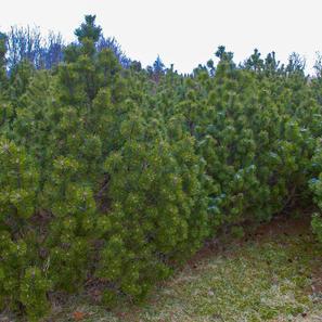 Krypbuskfuru_Pinus_pumilio_sauherad2.jpg