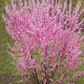 Prunus Triloba_rosemandel.jpg