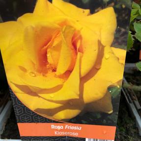 Klase Friesia