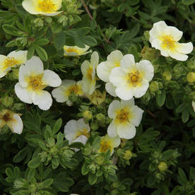 Potentilla_fruticosa_Sandved.jpg