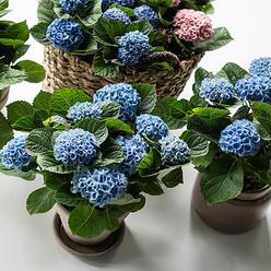 Hortensia Magical blå og rosa