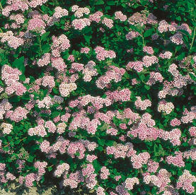 Spirea_japonica_LittlePrincess.jpg