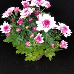 Kryssanthemum rosa og hvit