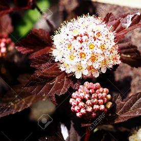 Spirea_physocarpus_opulifolius_diabolo_2