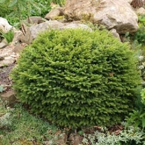 Gran_Picea_abies_nidiformis_2.jpg