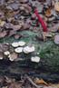 Herbstzwerg