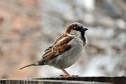 House_Sparrow_Male_(Passer_Domesticus) 2