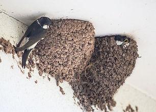 house-martin-nest.jpg