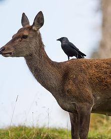 Red deer and jackdaw (c) Joe Burn