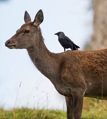 Red deer and jackdaw 1 - Joe Burn.jpg