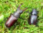 stag beetles.jpeg