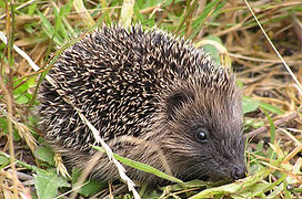 Young_hedgehog.jpg