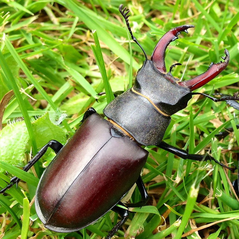PAID-UP MEMBERS EVENT: Stag beetles