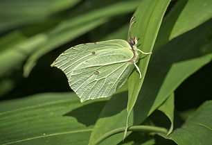 Brimstone female - copyright Chris Towler