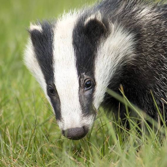 'The Life of the Badger': talk by John Fennell