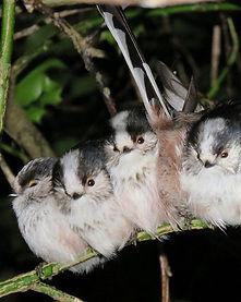 Long-tailed tits.jpg