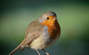 Robin - copyright Chris Towler