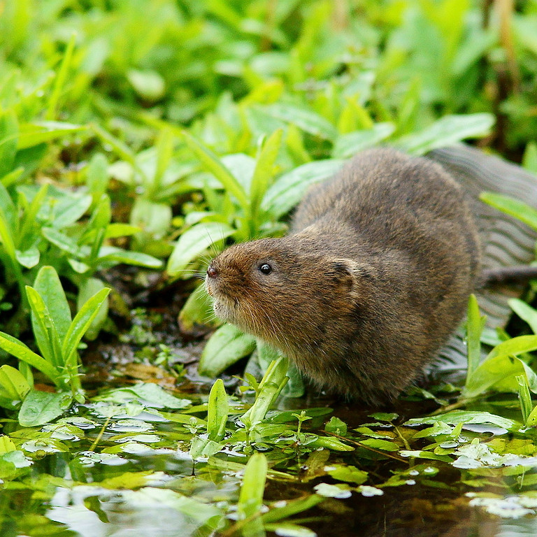 The Water Vole Recovery Project: talk by BBOWT