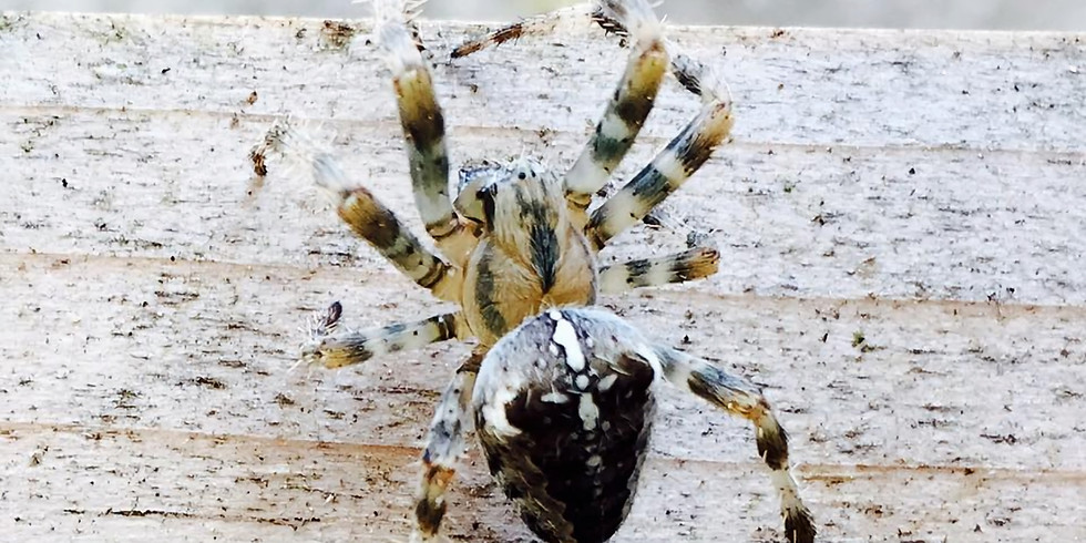 Wonderful British Spiders (with some live)