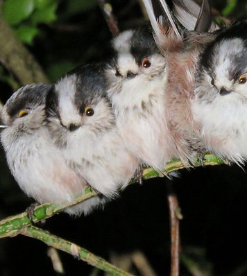 Long-tailed tits - John Walters.jpg