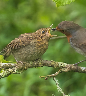 Robin feeding chick 2.jpg