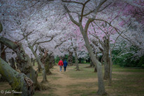 A Walk Under the Cherry Blossoms
