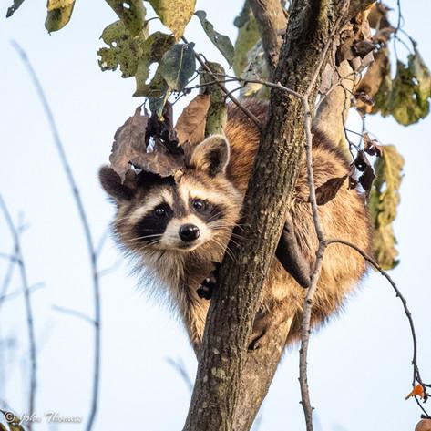 Racoon in Tree.jpg
