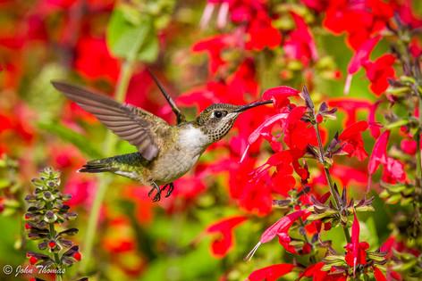 Young Male Hummingbird
