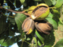 Pecans on tree ready for harvest.