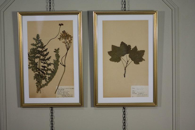 Framed Antique Herbarium's