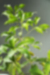 青剛櫟 鉋刀 材料