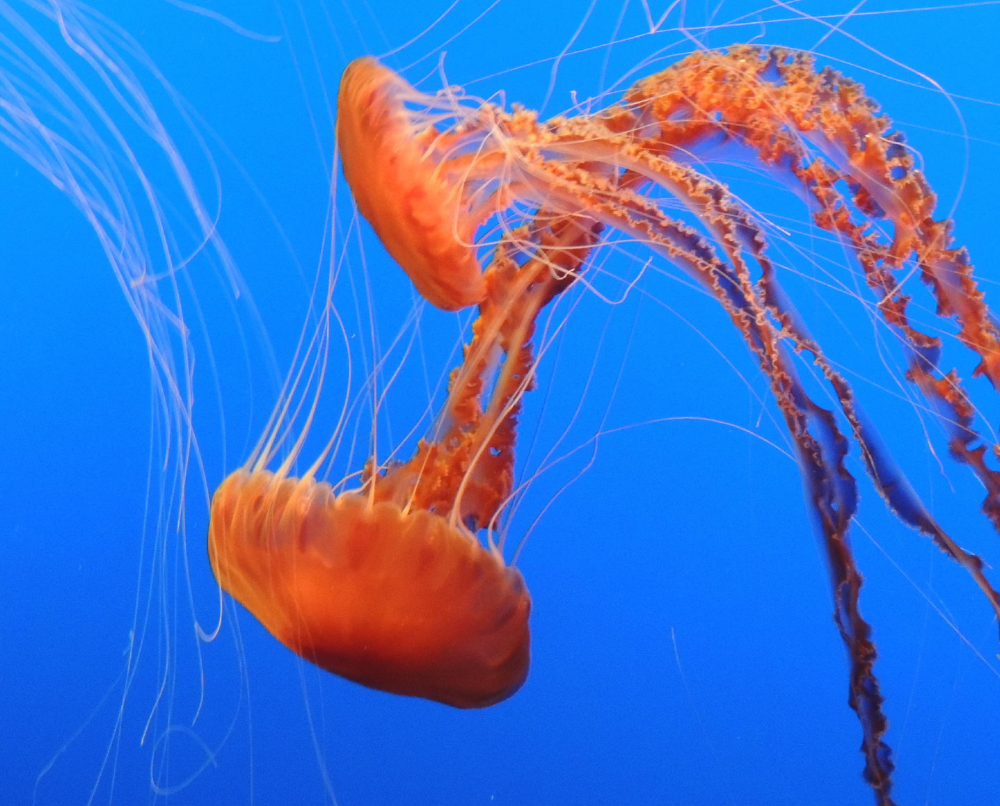 Orange Fire Jellies