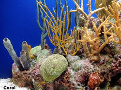 Coral 2013-3-11-12:31:34