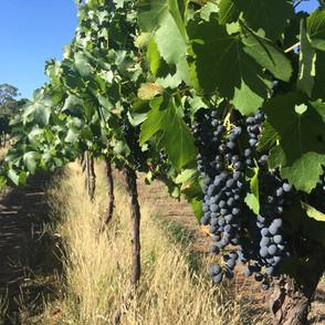 Our Vineyard, nice grape :)