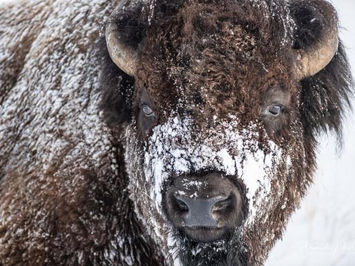 Tatanka, le  bison des grandes plaines !