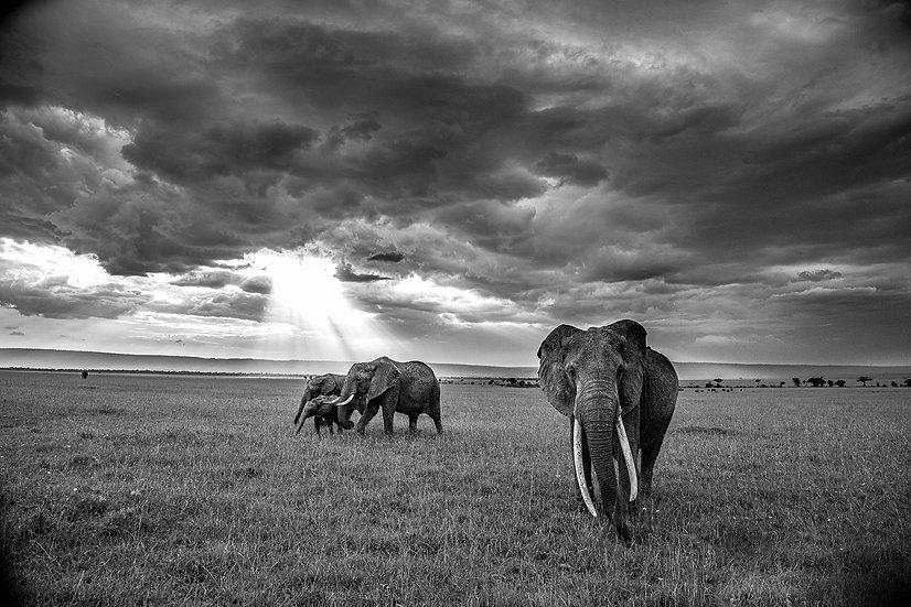 Eléphants d'Afrique - Serengeti -Kenya