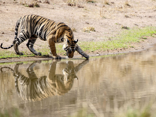 Parc National de Bandhavgarh, de l'eau pour la faune